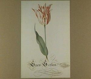 Tulp (Geren Gesien)