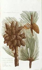 Pinus Sylvestris Pinaster vulgo