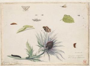 Kleine steentijm en alpenkruisdistel met poppen, rupsen en vlinders