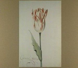 Tulp (Generael Vereyck)