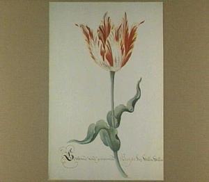 Tulp (Gevlamde ende gemarmelde Branson van Willem Willemsz)
