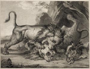 Twee leeuwen vechten om een dood rund