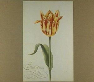 Tulp (Geele Croon)