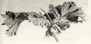 bladeren en stengel van slaapbol