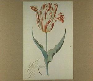 Tulp (Rosenobel)