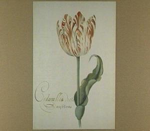 Tulp (Cedonullie Dicta Sayblom)