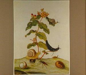 Mansbloed met slakken en een tor