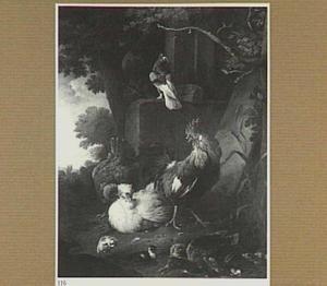 Haan met kippen bij een vijvertje met eenden
