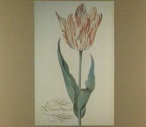 Tulp (Generael Swijmende)