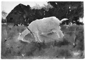 Grazende geit in een wei