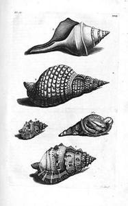 Vier schelpen: fusinus, gewone tritonshoorn, grote- en getande kikkerschelp en heremietkreeft