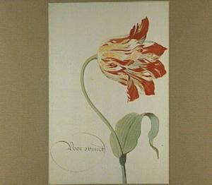 Tulp (Voor Windt)