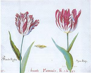 Twee tulpen (BrandenBúrgher en Spinne Koop) en een vlinder