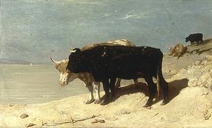 Stieren op een rotsachtige kust