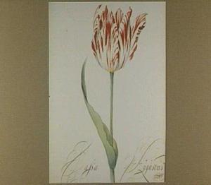 Tulp (Passa Augustus)