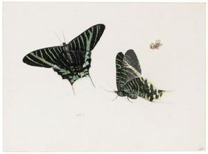 Studie van twee vlinders (Urania Leilus?) en een ander kleiner soort