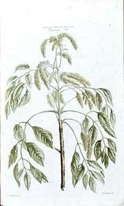 Flowering Ash
