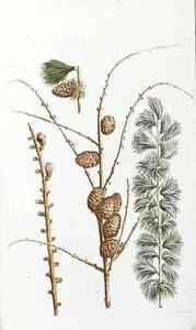 Larix folio