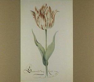 Tulp (Gemarmelde Van Kaer)