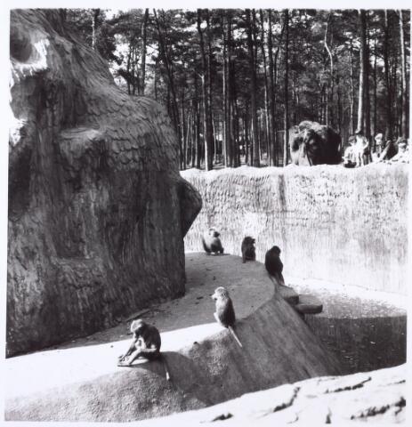 016271 - Dierentuin. Apenrots in het dierenpark aan de Bredaseweg. Oorspronkelijk heette het Burgers Dierenpark en werd later overgenomen door de firma Van Dijk. In augustus 1973 werden de poorten gesloten