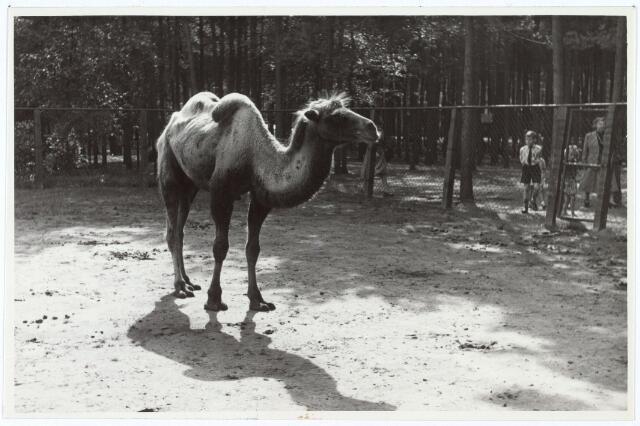 016255 - Dierentuin. Kameel in het dierenpark aan de Bredaseweg. Oorspronkelijk heette het Burgers Dierenpark en werd later overgenomen door de firma Van Dijk. In augustus 1973 werden de poorten gesloten