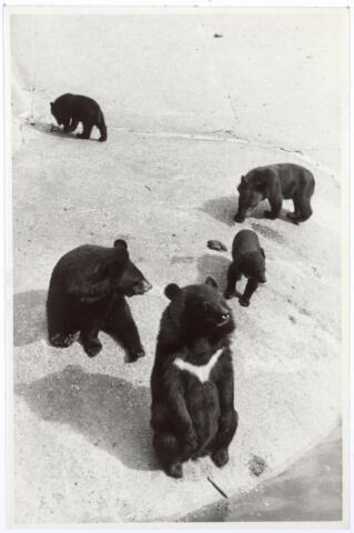 016239 - Dierentuin. Beren in het dierenpark aan de Bredaseweg.  Oorspronkelijk heette het Burgers Dierenpark en werd later overgenomen door de firma Van Dijk. In 1973 werden de poorten gesloten