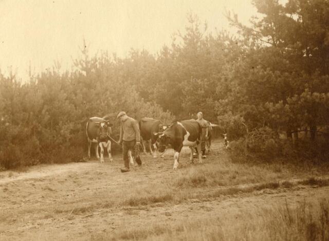 600814 - Het hoeden van de koeien. Harrie en Jana van Loon met koeien op een veldweg.