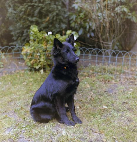 1237_012_981_006 - Dieren. Hond. Collectie hondenportretten uit de jaren zeventig. Zwarte herdershond.