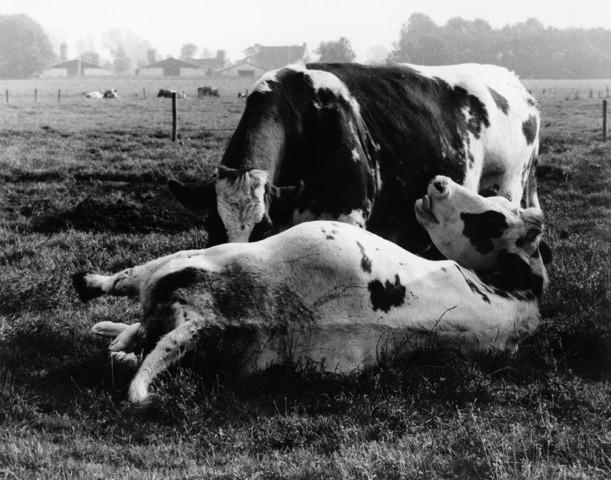1238_F0402 - Bevallende koe in een weiland. Zij krijgt bekijks.