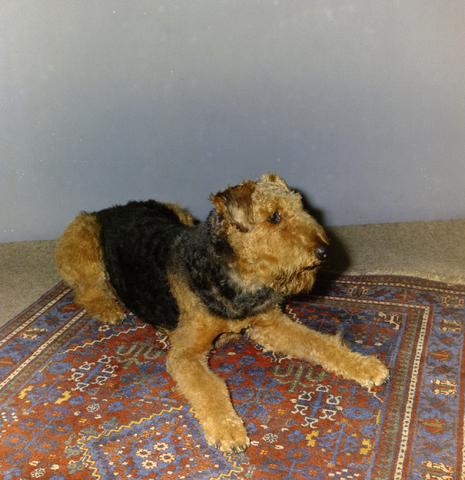 1237_012_981_003 - Dieren. Hond. Collectie hondenportretten uit de jaren zeventig. Airedale Terriër op een tapijt.