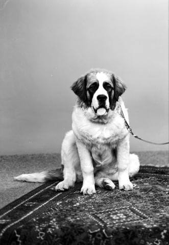 1237_12_984_002 - Hondenportret; Sint Bernard
