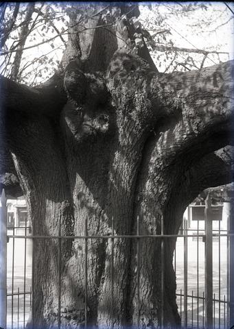 653675 - Detail van de lindeboom op de Heuvel