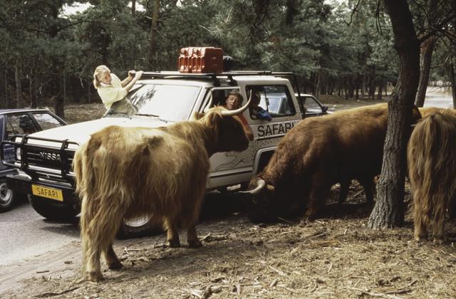 TLB023000127_001 - Terreinwagen met opzichters/verzorgers op Safaripark Beekse Bergen bij een groep Schotse Hooglanders