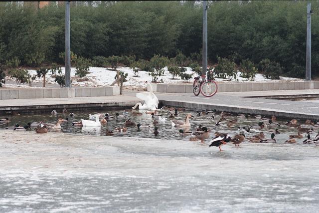 1237_010_757_001 - Stadsparken. Natuur in de stad. Het Kromhoutpark in de winter van 1997. Watervogels verzamelen zich in een onbevroren hoek van de vijver.