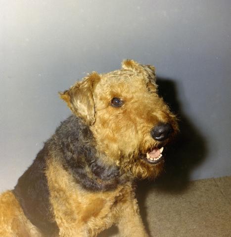 1237_012_981_002 - Dieren. Hond. Collectie hondenportretten uit de jaren zeventig. Airedale Terriër.