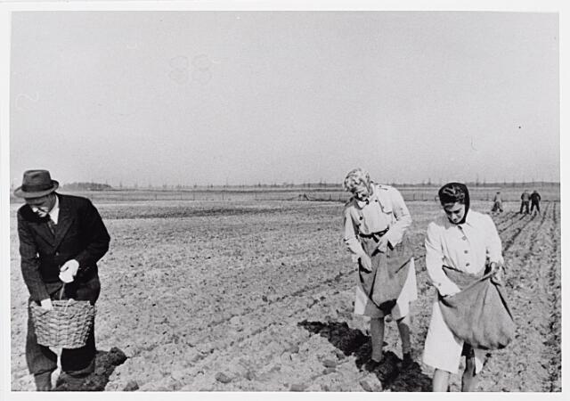 013990 - WO2 ; WOII ; Tweede Wereldoorlog. Distributie. De overheid propageerde de teelt van aardappelen en groenten door particulieren. Buurtgenoten werkten eendrachtig samen op het land om, zoals hier, aardappelen te poten