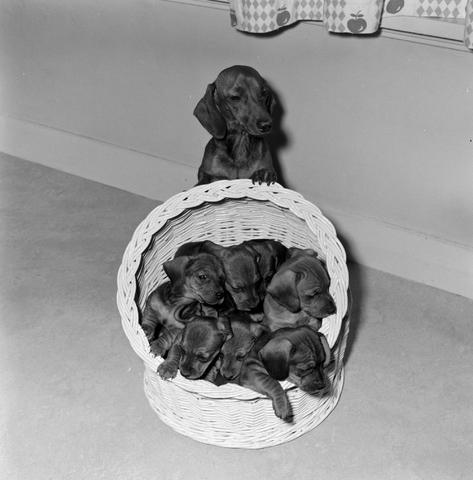 1237_012_985_002 - Dieren. Hond. Dierenfotografie. Een teckel met een mand vol puppy's.