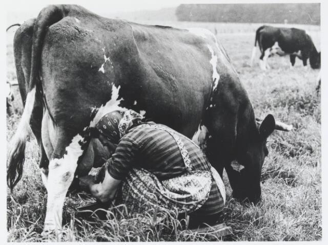 055978 - Landbouw: An Hendrixen te Esbeek melkt een koe