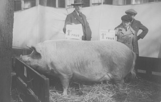 063903 - De eerste prijs voor een varken tijdens een veekeuring. Rechts de broers Frans en Kees van de Put, zonen van slager Frans van de Put en Adriana Maria van Puijenbroek.