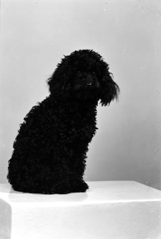 1237_12_984_001 - Hondenportret