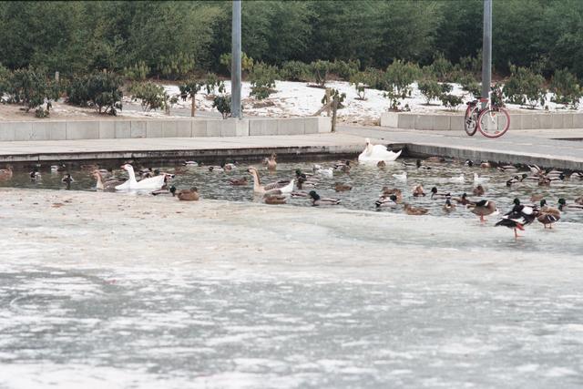1237_010_757_002 - Stadsparken. Natuur in de stad. Het Kromhoutpark in de winter van 1997. Watervogels verzamelen zich in een onbevroren hoek van de vijver.