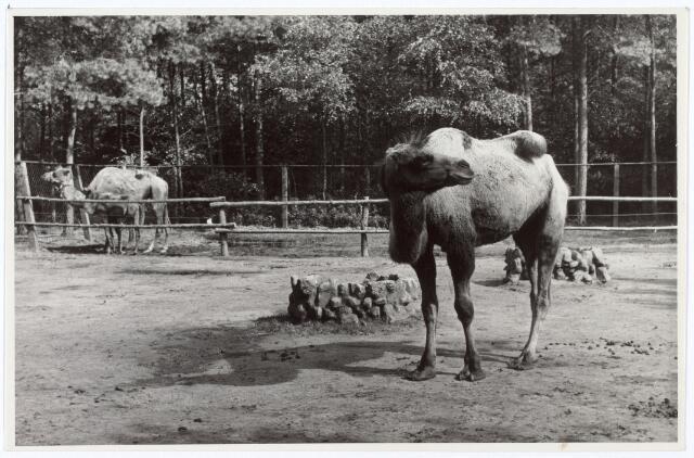016256 - Dierentuin. Kamelen in het dierenpark aan de Bredaseweg. Oorspronkelijk heette het Burgers Dierenpark en werd later overgenomen door de firma Van Dijk. In augustus 1973 werden de poorten gesloten