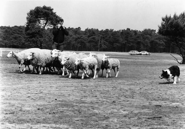 1238_F0226 - Kudde schapen wordt bijeengedreven door een schaapshond en herder