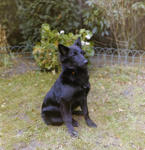1237_012_981_005 - Dieren. Hond. Collectie hondenportretten uit de jaren zeventig. Zwarte herdershond.