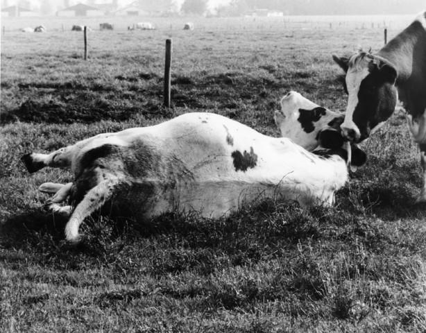 1238_F0404 - Bevallende koe in een weiland.