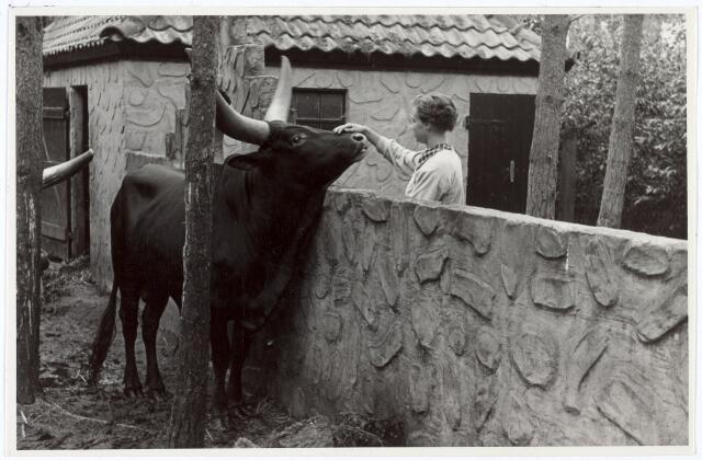 016246 - Dierentuin. Een bezoekster aait een watoessi (Zuidamerikaanse koe) in het dierenpark aan de Bredaseweg. Oorspronkelijk heette het Burgers Dierenpark en werd later overgenomen door de firma Van Dijk. In augustus 1973 werden de poorten gesloten