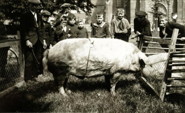 054492 - Hilvarebeek, veeteelt. Het resultaat van de varkensfokvereniging, tentoongesteld op de Vrijthof. Links Jan Verhoeven uit Esbeek, links op de achtergrond met pijp, De Laat uit Esbeek.