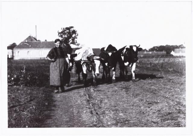 008561 - Boerin met koeien op zandpad. Op de achtergrond enkele huizen, gefotogafeerd door Henri Berssenbrugge (1873-1959), begin 1900.