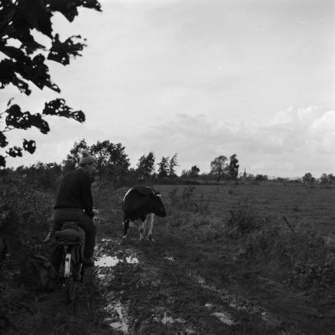 655222 - Odulphus. Oriëntatierit Odulphuslyceum. Jongen op fiets passeert een koe. buitengebied