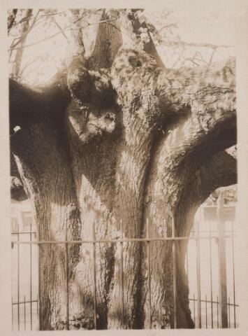 021376 - In de eerste helft van de vorige eeuw was in de lindeboom op de Heuvel vaag Maria en het Kindje Jezus te ontwaren. De Tilburgse amateur-historicus Lambert de Wijs publiceerde in de Nieuwe Tilburgsche Courant van 14 november 1925 een legende hierover